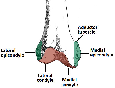 Anatomy of Distal Femur
