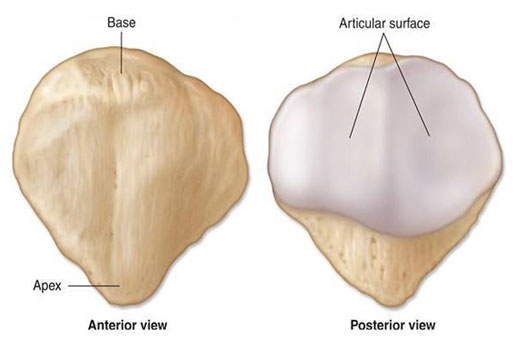 Anterior and Posterior Surfaces of the Patella