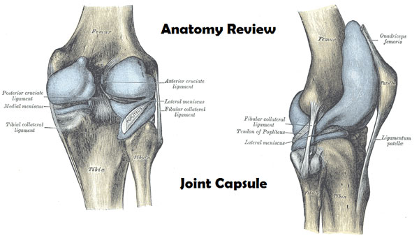Capsule of Knee Joint