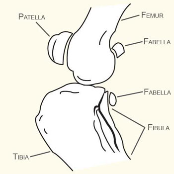 Fabella in the Knee