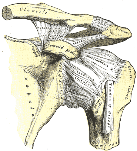 Glenohumeral Joint Ligament