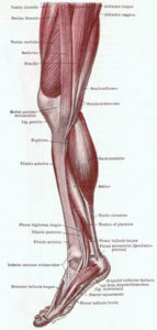 Leg Muscles Anatomy