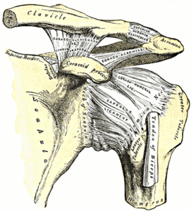 Ligaments of Shoulder Girdle