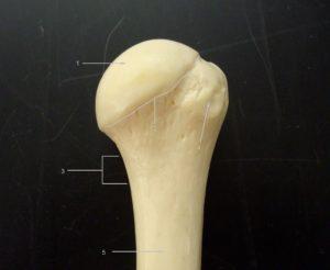 Proximal Humerus