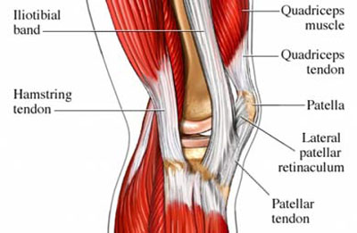 Tendons of the Knee